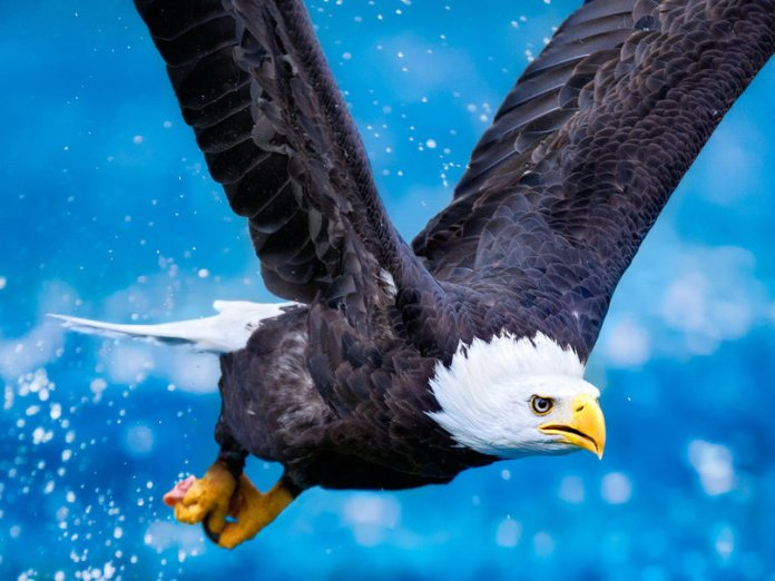 199840__eagle-in-flight_p